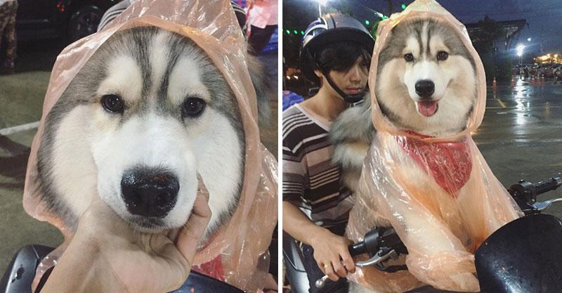 超可愛哈士奇穿雨衣和主人一起兜風 「幼稚園寶寶笑容」瞬間讓天氣想放晴!