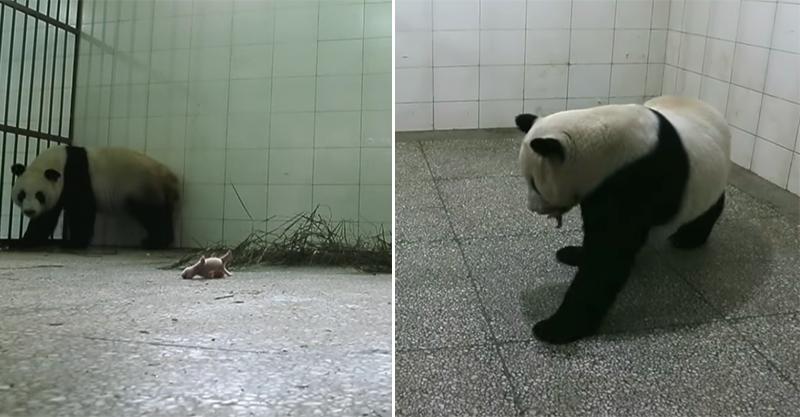 貓熊媽「產後憂鬱」繞圈圈 聽Baby哭哭心防破:沒事~馬麻抱
