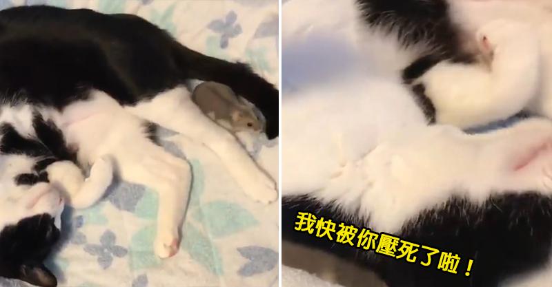 小倉鼠踩賓士貓肉身逛大街 下秒「扭頭壓制」:朕正好需要個枕頭~