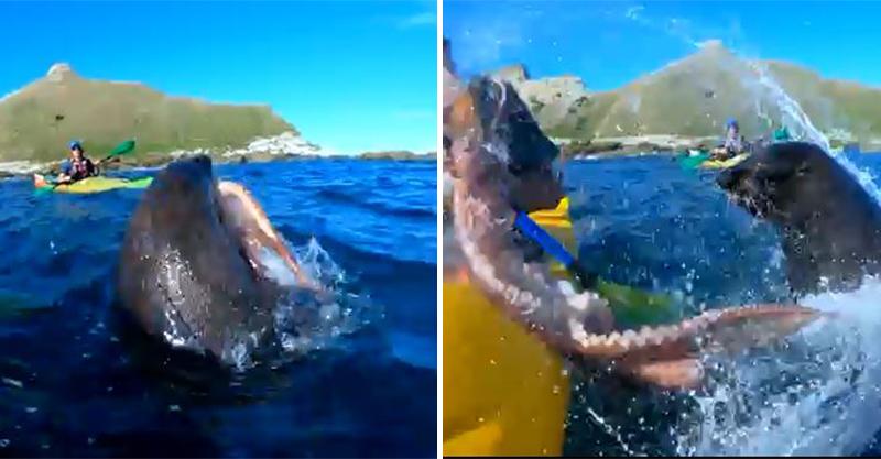 海上爽玩香蕉船 下一秒「海豹甩章魚攻擊」直接打上臉...果然是大自然的復仇啊XD