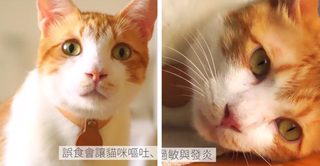 柚子自己吃就好!中秋節給貓咪戴柚子帽=下毒 喵皇:窩會嘔吐不止...
