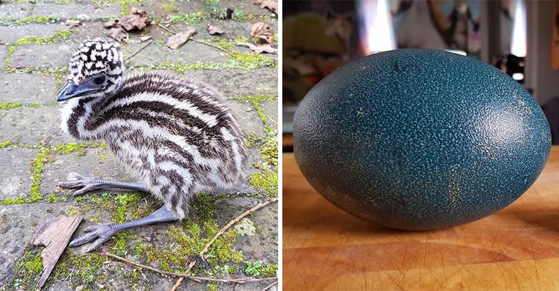 eBay上買到「謎樣藍色大鳥蛋」 孵育後驚見「長睫毛大鳥」破殼而出...