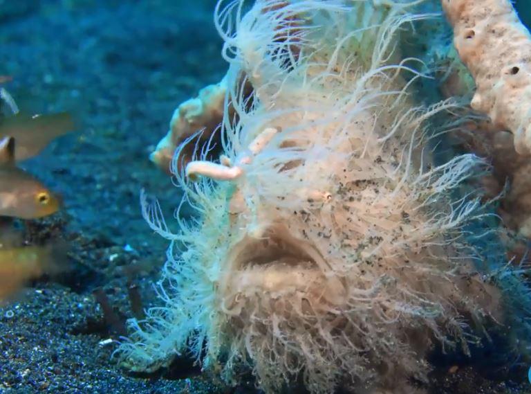 海中長毛青蛙魚!「條紋躄魚」張嘴瞬間根本惡夢 吃掉同體型生物很EZ