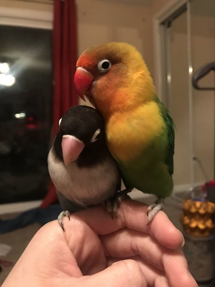 彩色鸚鵡對「黑白女友」一見鍾情 愛情結晶讓網驚:顏色好夢幻
