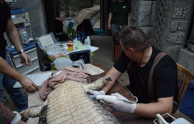 鱷魚夫妻結婚50年全生下「空包蛋」 獸醫檢查完忍不住流淚:真的太小了...