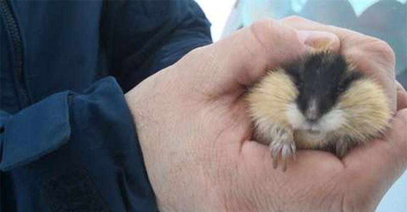 好心男拯救走失小倉鼠 專家一看直言「怎可能是倉鼠?」糗爆:不需要你救