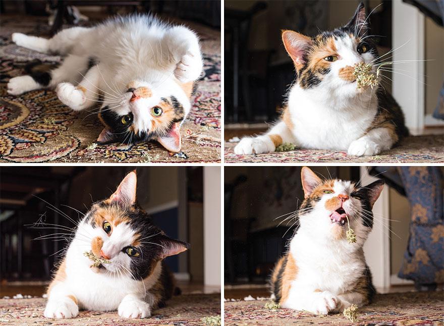 18張「吸草吸到ㄎㄧㄤ掉」的爽貓醜照 高冷形象崩壞:再給偶一點就好~