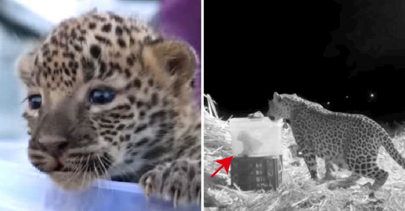 農夫把「走失的小奶豹」放在塑膠箱裡 晚上「母豹發現箱子」的反應超感動!