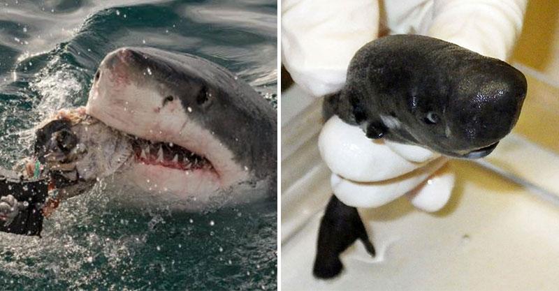 全新品種「暗黑系口袋鯊」會噴出發光液體 超萌「迷你尺寸」不是鯊魚迷也覺得可愛!