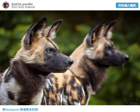 28種「你以為牠們來自外星球」的獨特動物 佈滿「黑白斑點的馬來貘」就像動物界刺青達人!