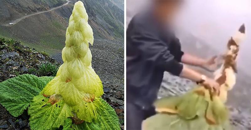 珍貴植物「45年才開花」被手撕吃下 專家:這輩子不會再有!