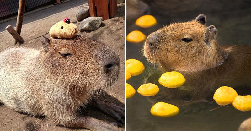 影/水豚到底怎麼叫?網友捕捉珍貴「水豚吼叫畫面」驚呆網友:以為是我爸在睡覺