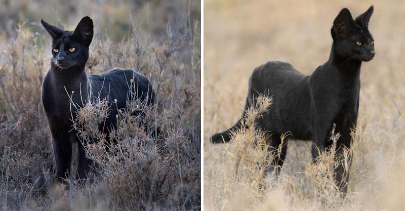 攝影師巧遇「超稀有藪貓」竟色變成「野生黑豹」!