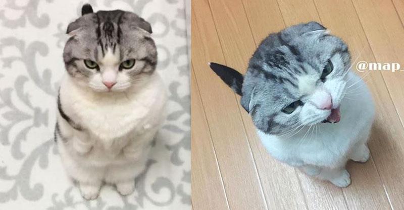 短腿貓皇「最愛討抱抱」超任性 不抱就翻臉「開大絕」貓奴秒求饒