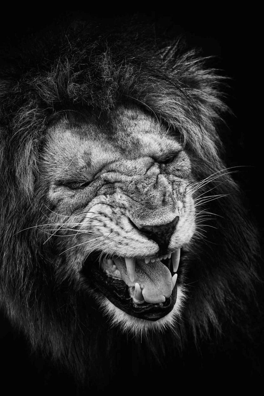 29張拍出「真實版獅子王」的冠軍作品 黑猩猩也會做白日夢!