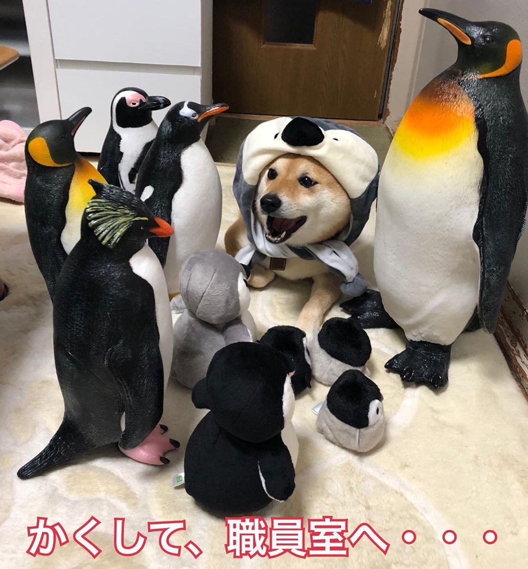 汪界最萌coser!柴柴「扮演卡通角色」爆紅 「無臉柴」萌翻全網