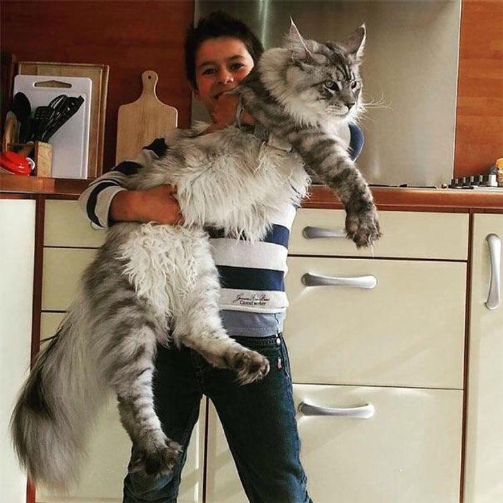 20張「以為自己是小貓」的超巨大喵星人 硬要「討抱抱」主人手快斷了啦!
