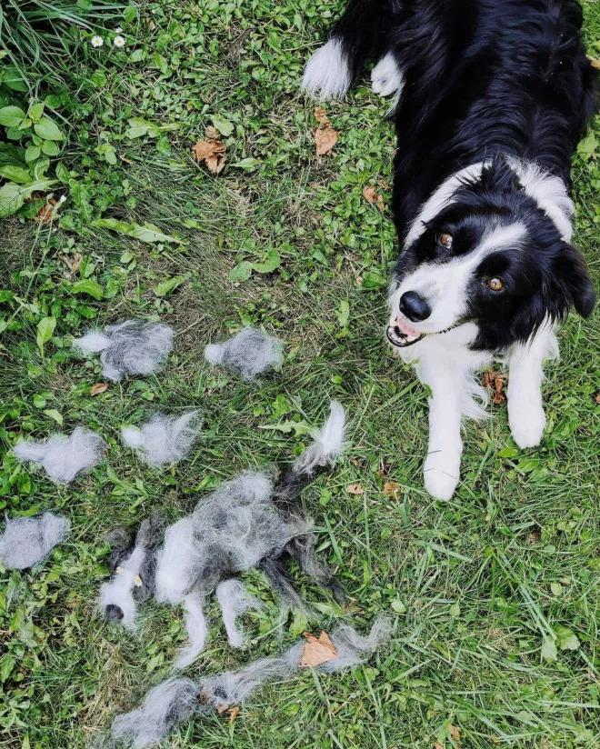 怎麼梳一梳變兩隻?!16張「狗毛成精了→變狗狗分身」爆笑照